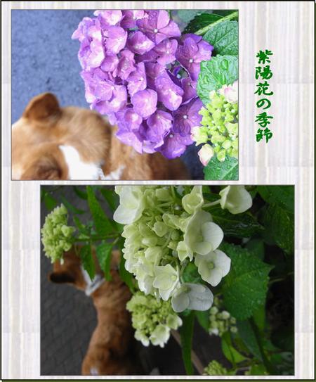 Azisai1
