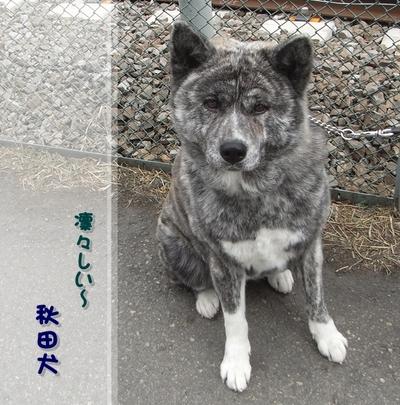 Akita_2