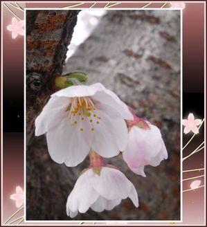 Sakura0904031_2