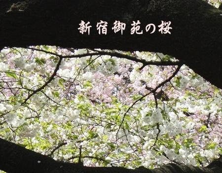 Gyoennnosakura1