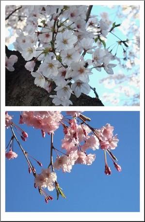 Sakura2tenn_1