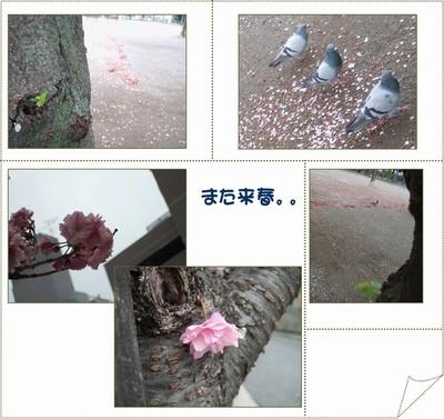 Sakurarausyunn
